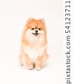 Pomeranian坐和微笑 54123711