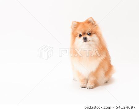 博美犬坐著一個鋒利的脖子 54124697