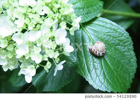 繡球花和蝸牛 54128890