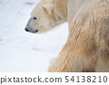Winter Shirokuma / Hokkaido Asahiyama Zoo 54138210