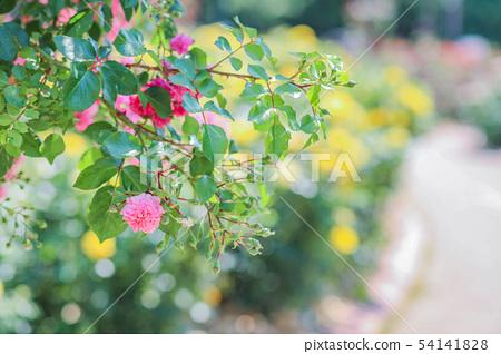 장미 꽃나무 54141828