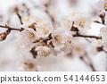 Apricot tree blossoms 54144653