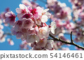 Pink cherry blossoms with wooden fence 54146461