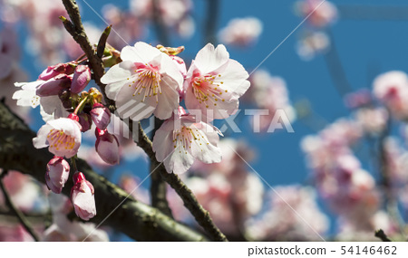 Pink cherry blossoms with wooden fence 54146462