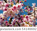 Pink cherry blossoms with wooden fence 54146692