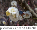 Spring background with white plum flowers 54146781