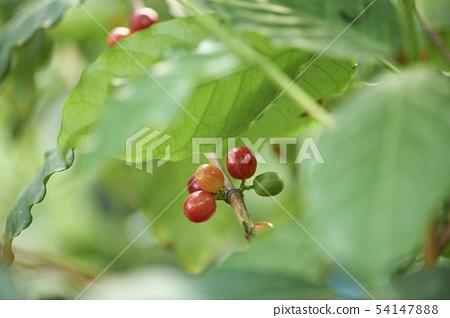 커피나무 54147888