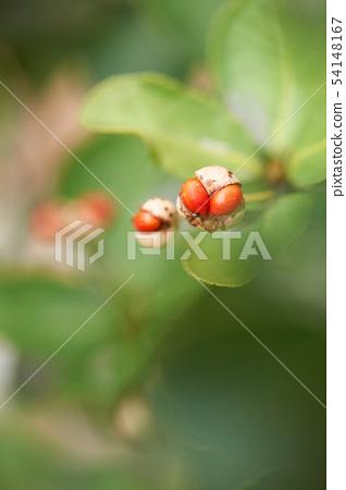 사철나무 54148167