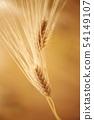 barley 54149107