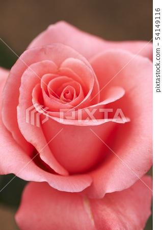 rose 54149116