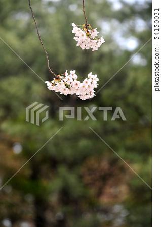 벚꽃 54150031