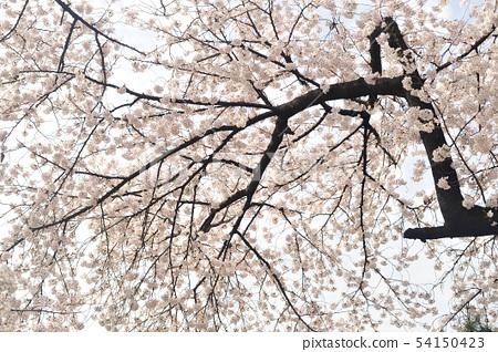 벚꽃 54150423