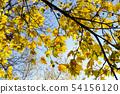 yellowed maple trees in autumn 54156120