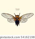 จักจั่น,เวกเตอร์,แมลง 54162198