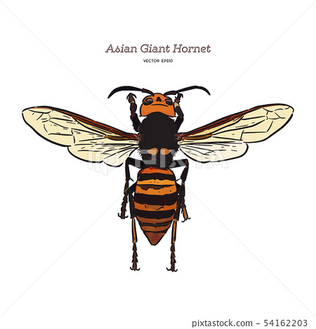 Giant asian hornet, hand draw sketch vector. 54162203