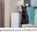 검은 고양이, 도둑 고양이 54166724