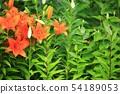 참나리정원, 꽃 54189053