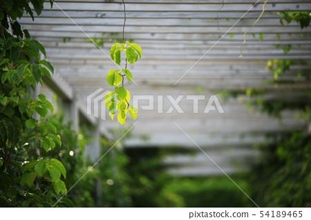 정원, 댐장넝쿨 54189465