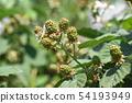 블랙 베리 열매 (6 월) 54193949
