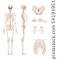 Vector illustration of human skeleton in different sides. Bones of arms, legs. Skull 54193951
