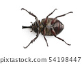 Image of dynastinae on white background. Insect. 54198447