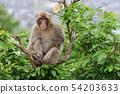 나무 위의 원숭이 54203633