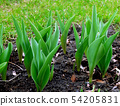 Flower bed with young sprouts of tulips 54205831