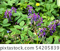Inflorescences of purple flowers  in the garden 54205839