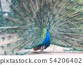 孔雀,印第安孔雀 54206402