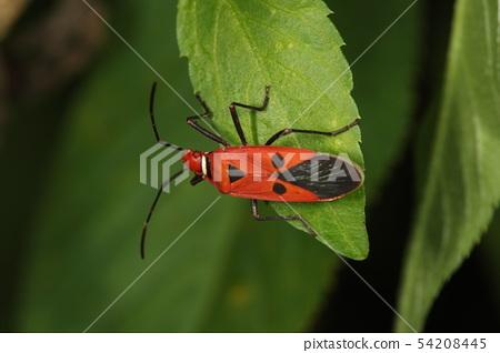 生物昆蟲紅色臭臭蟲,5月的石垣島。它是一種喜歡棗科植物的棉花害蟲 54208445
