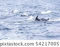 남방 큰 돌고래 시마 바라 아마쿠사 54217005