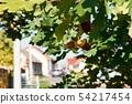 Detail of acorn on tree of oak between leaves, 54217454