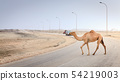 Camel on the road in Oman 54219003