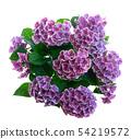 violet hortenzia flower 54219572