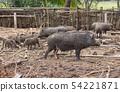 wild boar family on rural farm 54221871