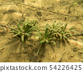 Bottom leaves of water lobelia 54226425