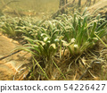 Dense vegetation of water lobelia plant with bottom leaves 54226427