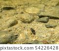 Caddisfly larva with case crawling over lake bottom 54226428
