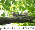 나뭇 가지에 누워 열매를 먹는 다람쥐 54227256