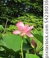 치바 공원 오오가하스의 분홍색의 꽃 54236036