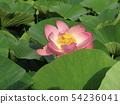 Ogajas桃红色花在千叶公园的 54236041