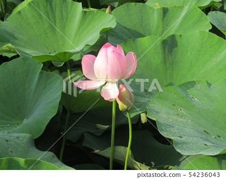 千葉公園的桃紅色五顏六色的芽 54236043