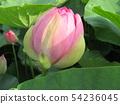 千葉公園的桃紅色五顏六色的芽 54236045