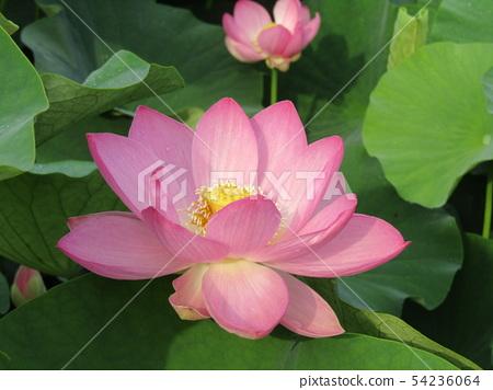 ดอกไม้สีชมพูของ Ogajas ที่ Chiba Park 54236064
