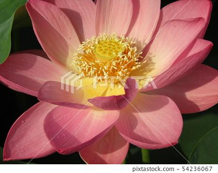 치바 공원 오오가하스의 분홍색의 꽃 54236067