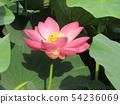 치바 공원 오오가하스의 분홍색의 꽃 54236069