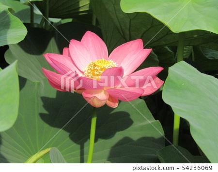 Ogajas桃紅色花在千葉公園的 54236069
