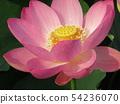 Ogajas桃红色花在千叶公园的 54236070