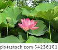 치바 공원 오오가하스의 분홍색의 꽃 54236101