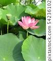 치바 공원 오오가하스의 분홍색의 꽃 54236102